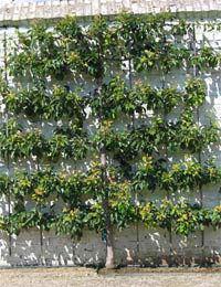 Espalier Training for Fruit Trees