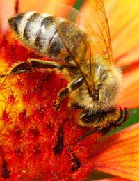 Bee/Wasp Stings & Anaphylactic Shock